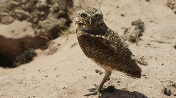 Are owls wise, all-seeing and good luck – or harbingers of calamity?