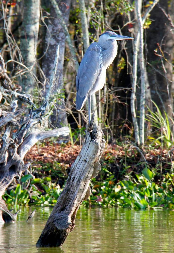 A great blue heron rests on a cypress stump